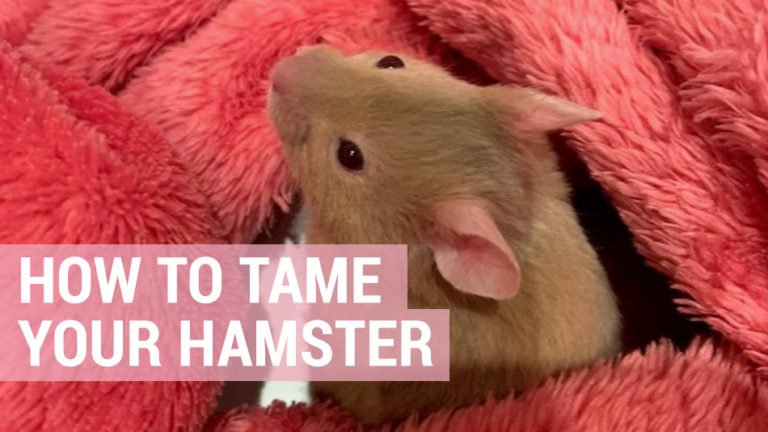 taming your hamster