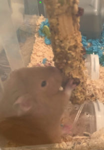 what to feed your hamster