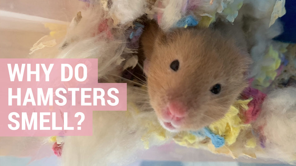 why does my hamster smell