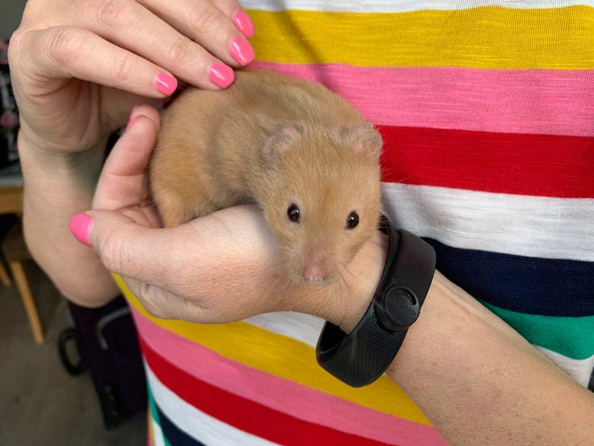 do hamsters like being handled