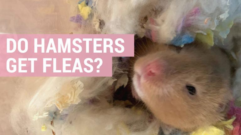 do hamsters get fleas