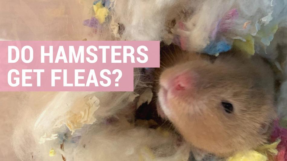 do hamsters get fleas