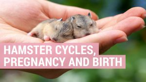 hamster pregnancy and birth