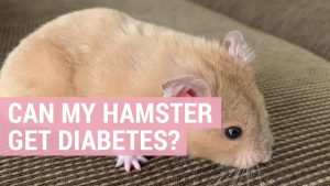 can my hamster get diabetes
