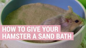 how to give your hamster a sand bath