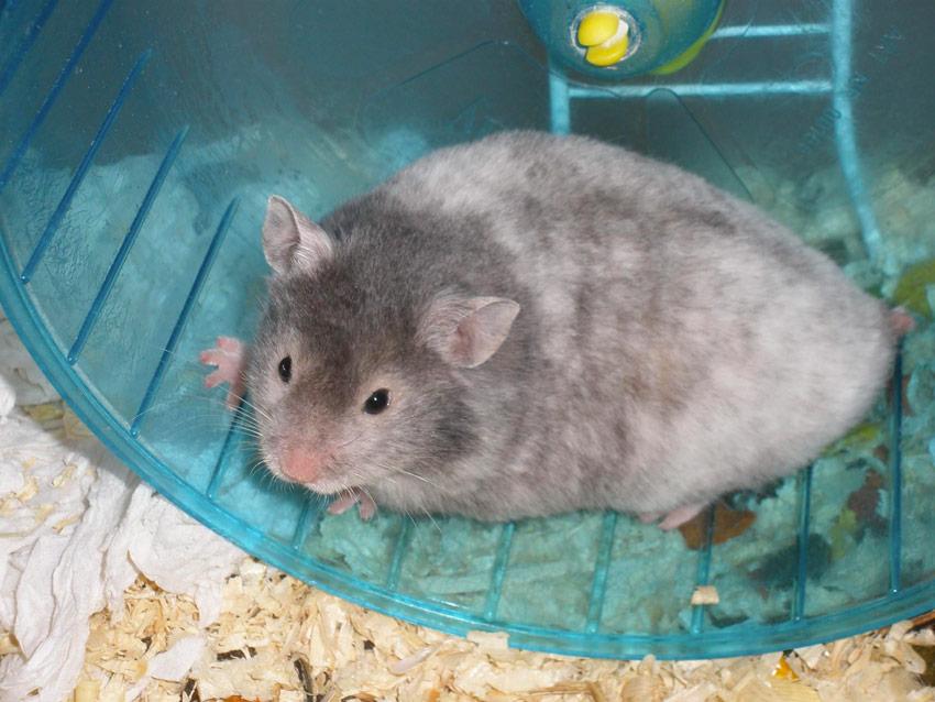 roan hamster colors