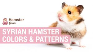 syrian hamster colors and patterns