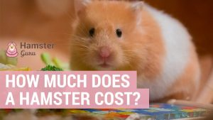 how much does a hamster cost