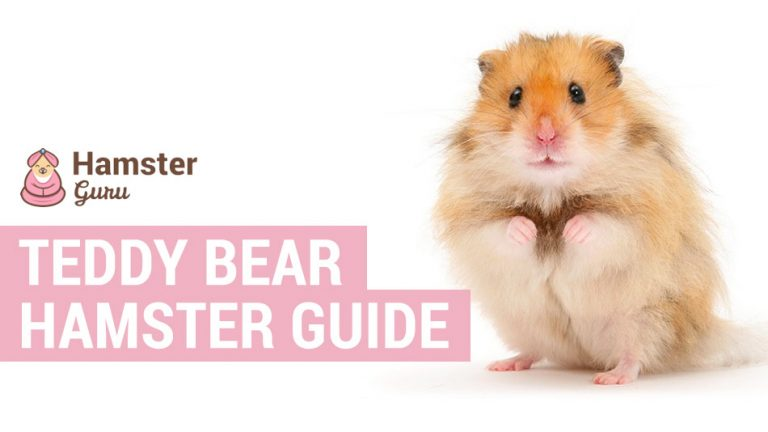 teddy bear hamster facts
