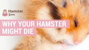 why your hamster might die
