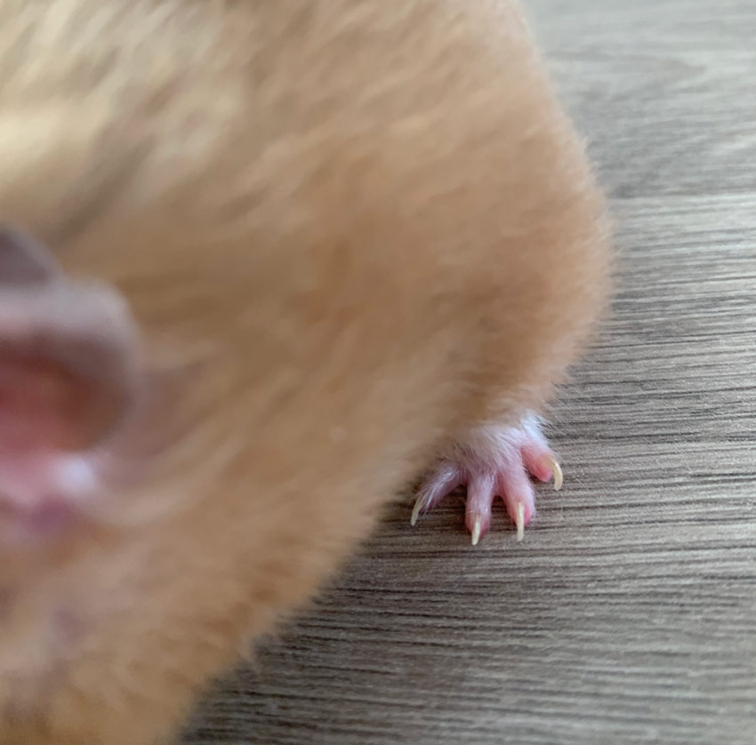 Syrian hamster with long nails