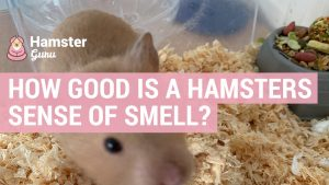 how much can hamsters smell