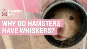 why do hamsters have whiskers