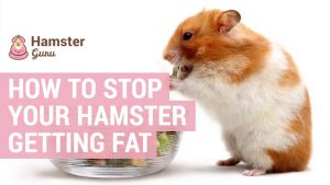 how to stop a hamster getting fat